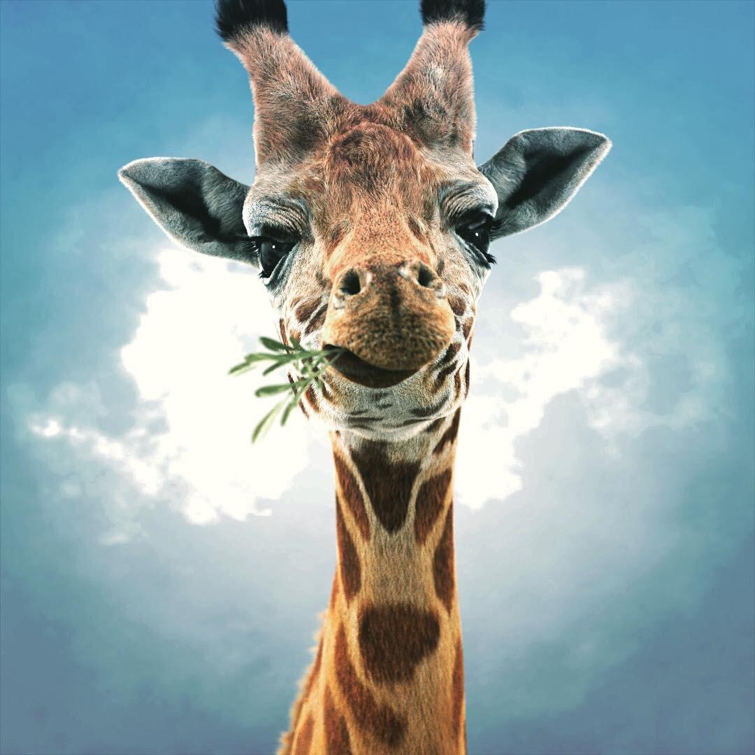 отношениями, картинка жирафа веселая объекты перед