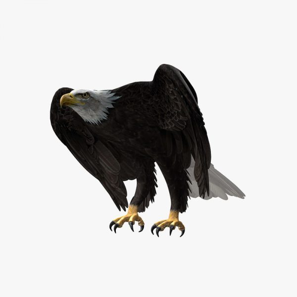Buy American Bald Eagle (ANIMATED) 3D Model Online